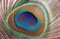 Peacock Feather from http://seasweetie.wordpress.com/2010/04/04/peacock-feathers/